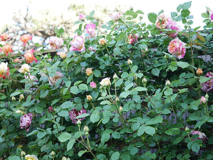 エドゥアール・マネ(Edouard Manet))の花が増えてきた。半ツルバラ。2021年-041.jpg