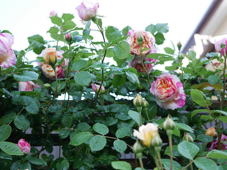 エドゥアール・マネ(Edouard Manet))の花が増えてきた。半ツルバラ。2021年-042.jpg