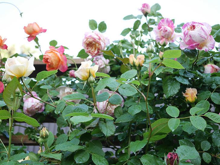 エドゥアール・マネ(Edouard Manet))の花が増えてきた。半ツルバラ。2021年-043.jpg