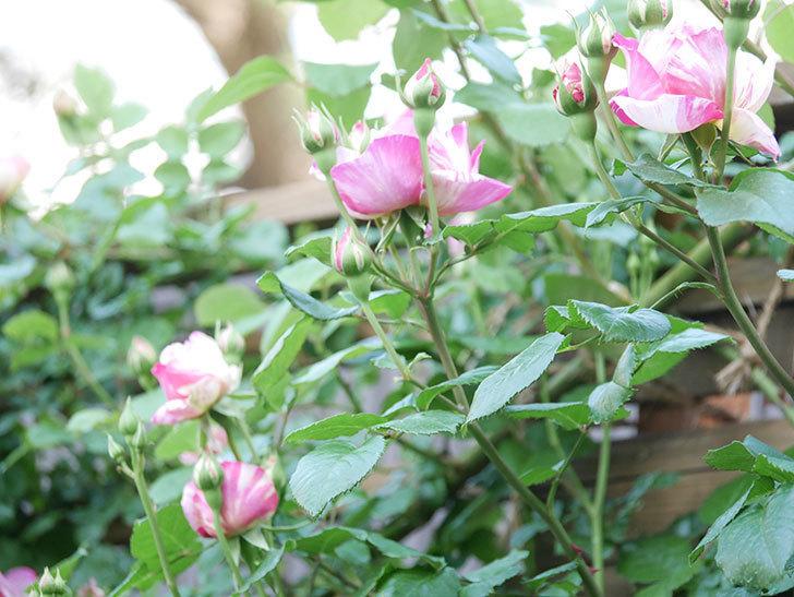 エドゥアール・マネ(Edouard Manet))の花が増えてきた。半ツルバラ。2021年-044.jpg