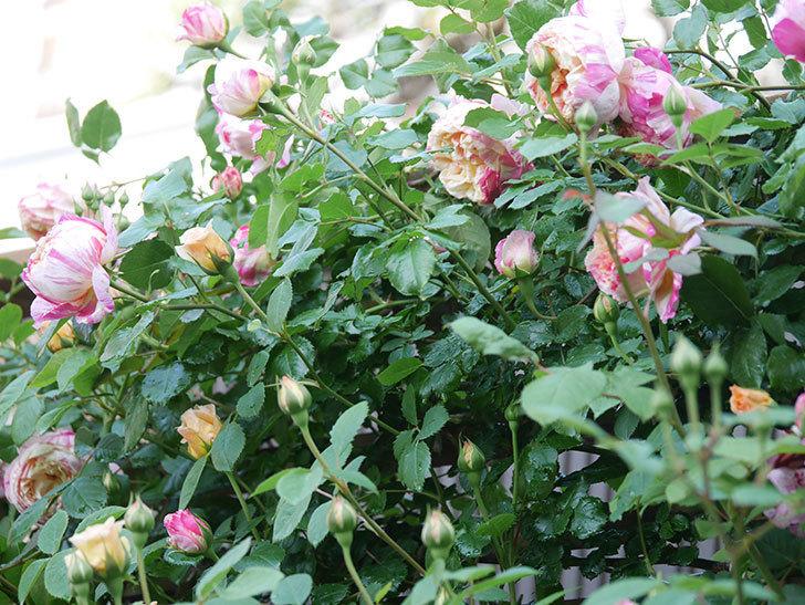 エドゥアール・マネ(Edouard Manet))の花が増えてきた。半ツルバラ。2021年-047.jpg