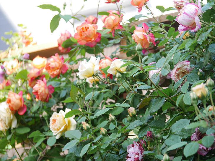 エドゥアール・マネ(Edouard Manet))の花が増えてきた。半ツルバラ。2021年-048.jpg