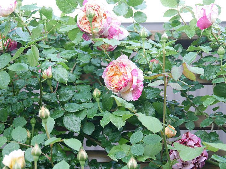 エドゥアール・マネ(Edouard Manet))の花が増えてきた。半ツルバラ。2021年-049.jpg