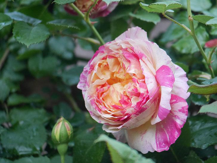 エドゥアール・マネ(Edouard Manet))の花が増えてきた。半ツルバラ。2021年-051.jpg