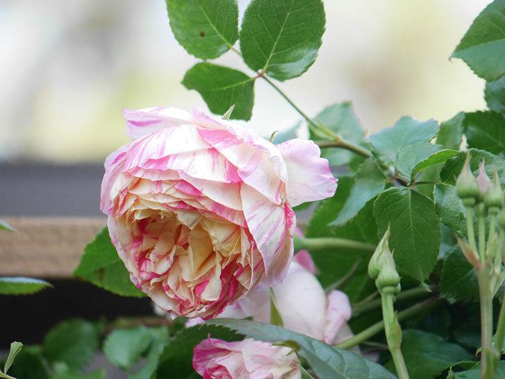 エドゥアール・マネ(Edouard Manet))の花が増えてきた。半ツルバラ。2021年-055.jpg