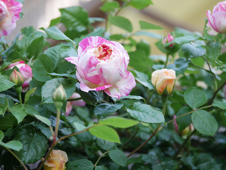 エドゥアール・マネ(Edouard Manet))の花が増えてきた。半ツルバラ。2021年-057.jpg