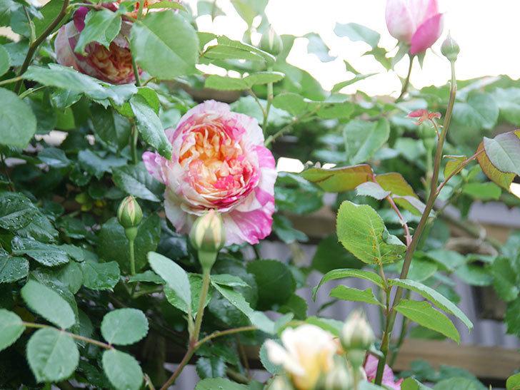 エドゥアール・マネ(Edouard Manet))の花が増えてきた。半ツルバラ。2021年-058.jpg