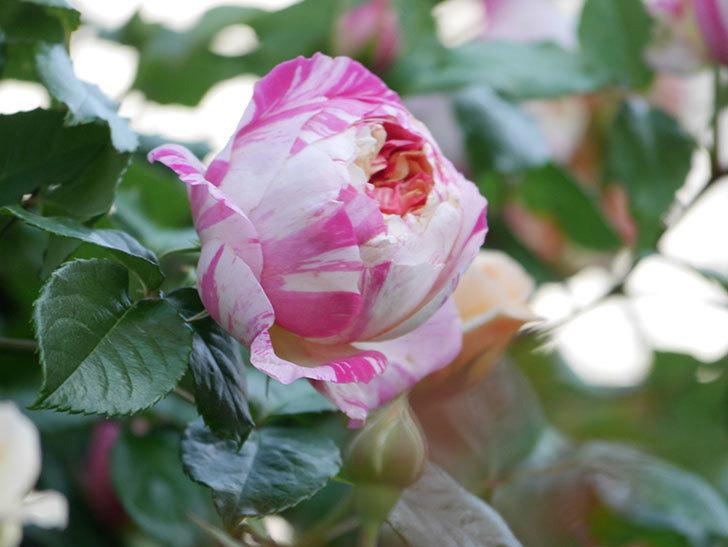 エドゥアール・マネ(Edouard Manet))の花が増えてきた。半ツルバラ。2021年-060.jpg