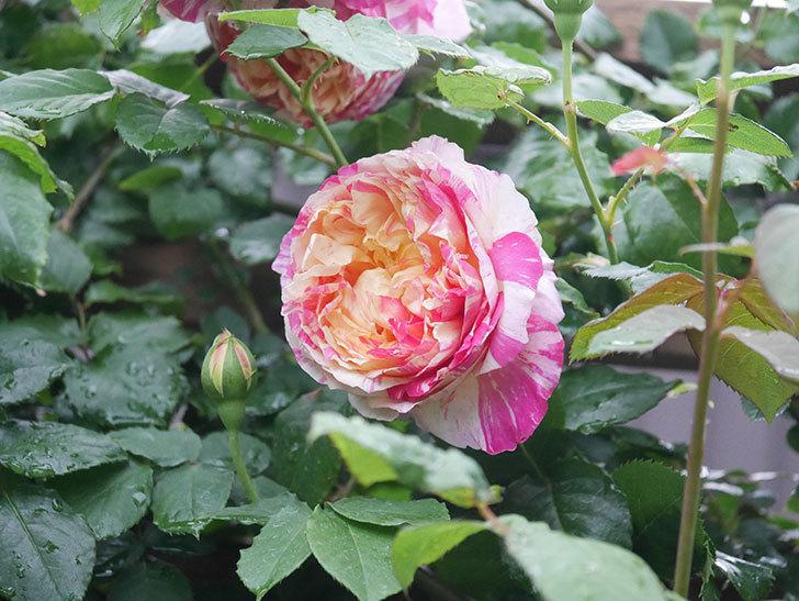 エドゥアール・マネ(Edouard Manet))の花が増えてきた。半ツルバラ。2021年-061.jpg