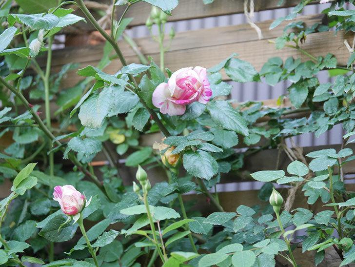 エドゥアール・マネ(Edouard Manet))の花が増えてきた。半ツルバラ。2021年-064.jpg