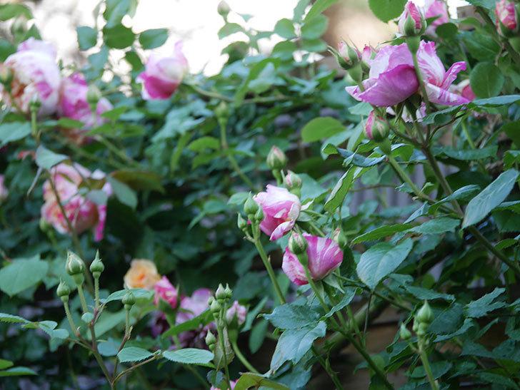 エドゥアール・マネ(Edouard Manet))の花が増えてきた。半ツルバラ。2021年-066.jpg