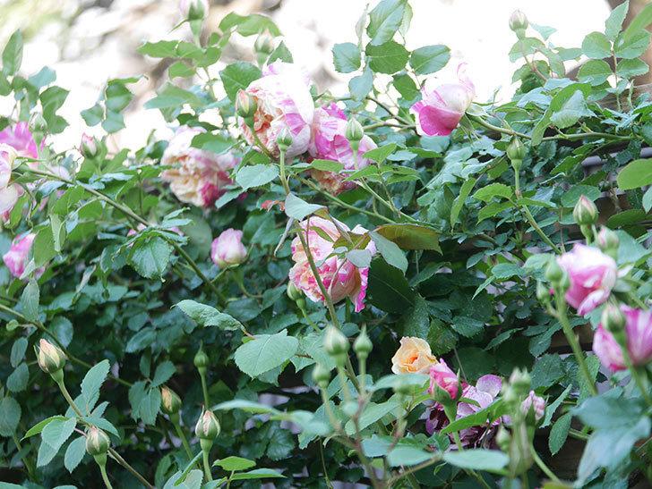 エドゥアール・マネ(Edouard Manet))の花が増えてきた。半ツルバラ。2021年-067.jpg