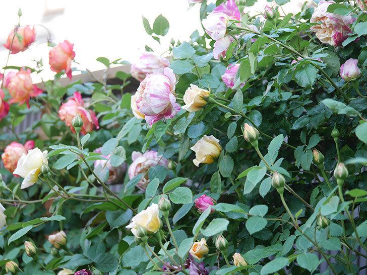 エドゥアール・マネ(Edouard Manet))の花が増えてきた。半ツルバラ。2021年-068.jpg