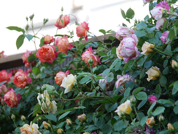 エドゥアール・マネ(Edouard Manet))の花が増えてきた。半ツルバラ。2021年-069.jpg