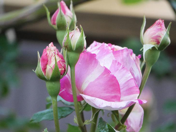 エドゥアール・マネ(Edouard Manet))の花が増えてきた。半ツルバラ。2021年-070.jpg