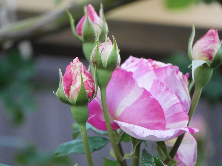 エドゥアール・マネ(Edouard Manet))の花が増えてきた。半ツルバラ。2021年-071.jpg