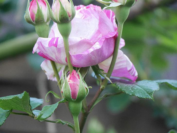エドゥアール・マネ(Edouard Manet))の花が増えてきた。半ツルバラ。2021年-072.jpg
