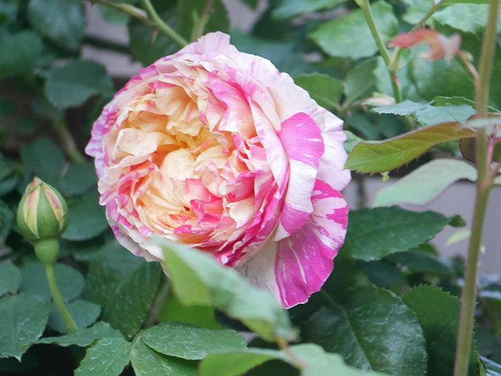 エドゥアール・マネ(Edouard Manet))の花が増えてきた。半ツルバラ。2021年-073.jpg