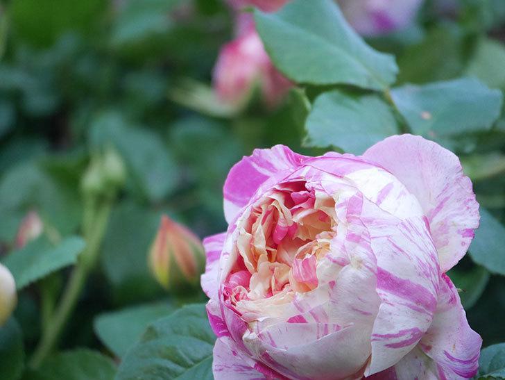 エドゥアール・マネ(Edouard Manet))の花が増えてきた。半ツルバラ。2021年-075.jpg