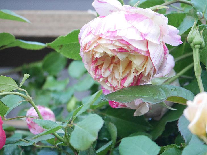 エドゥアール・マネ(Edouard Manet))の花が増えてきた。半ツルバラ。2021年-076.jpg