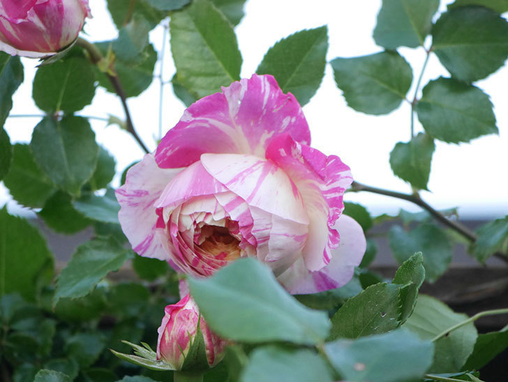 エドゥアール・マネ(Edouard Manet))の花が増えてきた。半ツルバラ。2021年-077.jpg