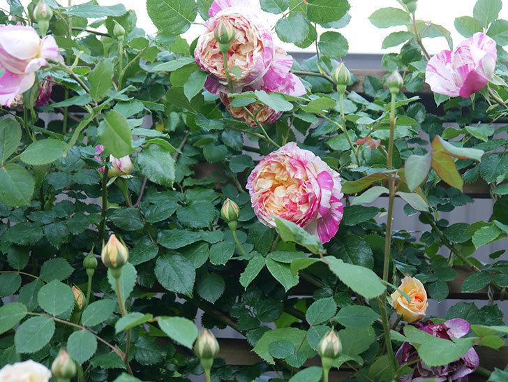 エドゥアール・マネ(Edouard Manet))の花が増えてきた。半ツルバラ。2021年-078.jpg