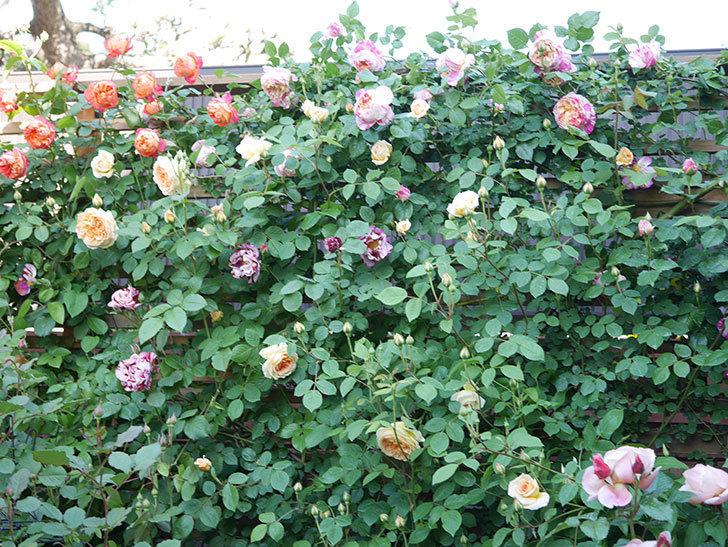 エドゥアール・マネ(Edouard Manet))の花が増えてきた。半ツルバラ。2021年-082.jpg