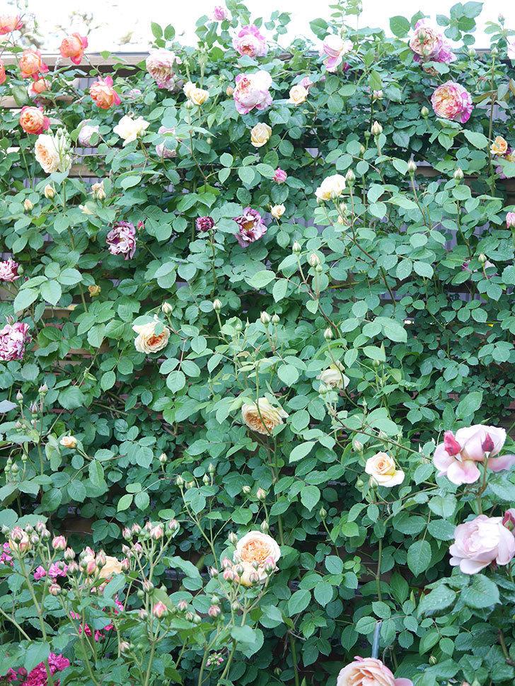 エドゥアール・マネ(Edouard Manet))の花が増えてきた。半ツルバラ。2021年-083.jpg