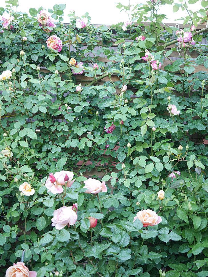 エドゥアール・マネ(Edouard Manet))の花が増えてきた。半ツルバラ。2021年-084.jpg
