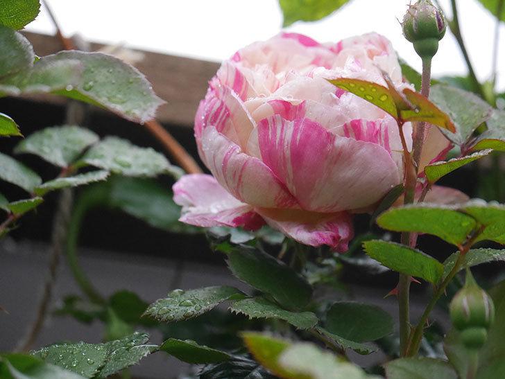 エドゥアール・マネ(Edouard Manet))の花が少しずつ増えてきた。半ツルバラ。2021年-002.jpg