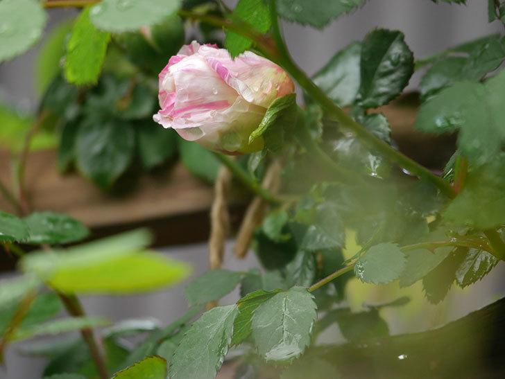 エドゥアール・マネ(Edouard Manet))の蕾が膨らんで来た。半ツルバラ。2021年-005.jpg