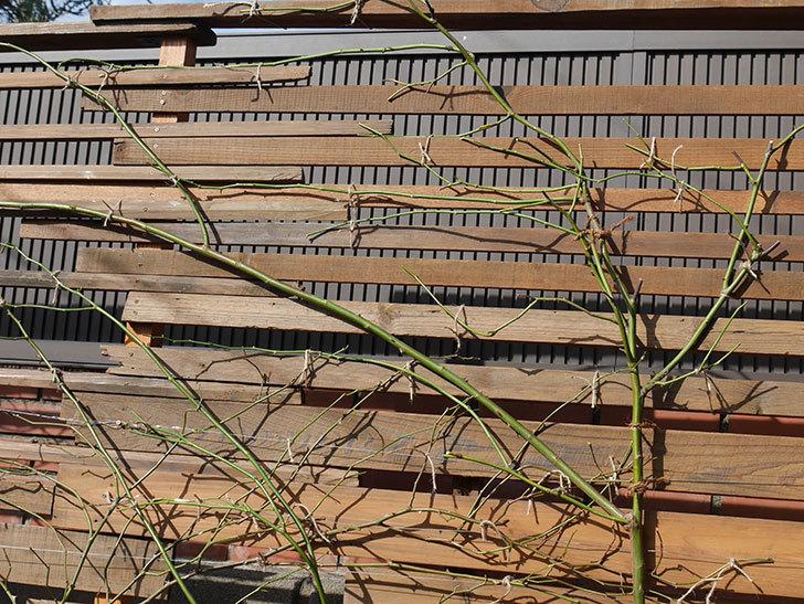 エドゥアール・マネ(Edouard Manet))をフェンスに誘引した。半ツルバラ。2020年12月-004.jpg