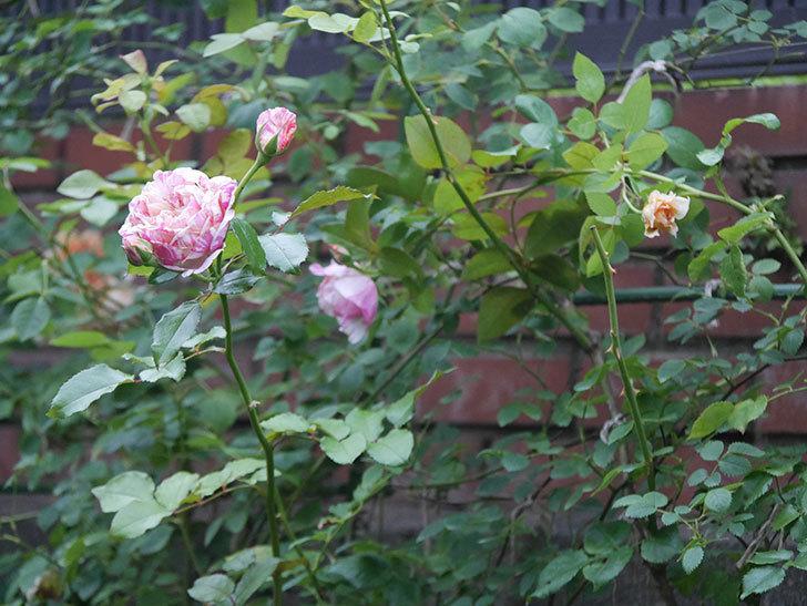 エドゥアール・マネ(Edouard Manet)の2番花がまた咲いた。半ツルバラ。2020年-001.jpg