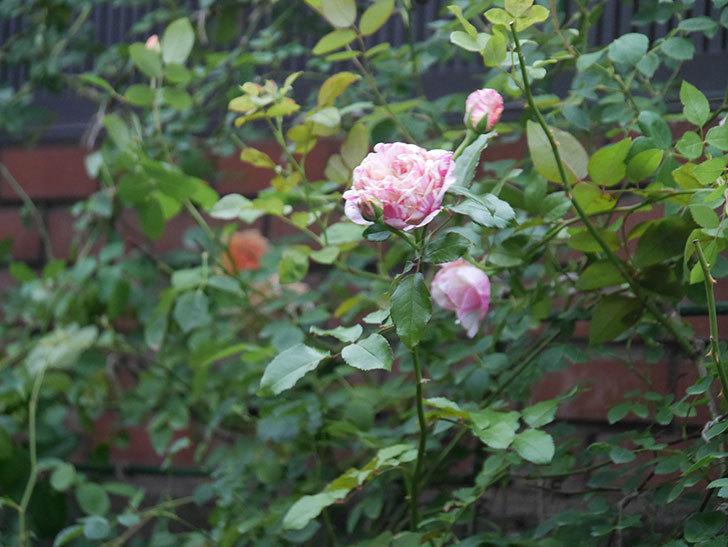 エドゥアール・マネ(Edouard Manet)の2番花がまた咲いた。半ツルバラ。2020年-002.jpg
