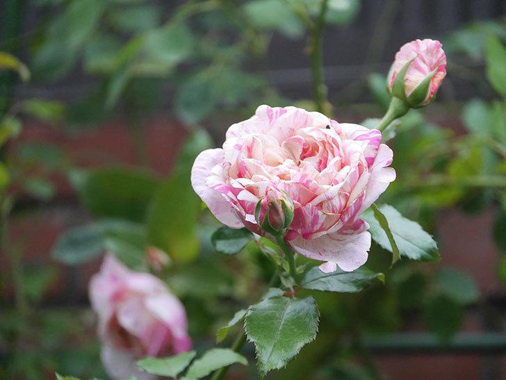 エドゥアール・マネ(Edouard Manet)の2番花がまた咲いた。半ツルバラ。2020年-003.jpg
