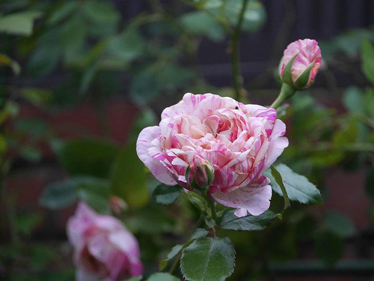 エドゥアール・マネ(Edouard Manet)の2番花がまた咲いた。半ツルバラ。2020年-004.jpg