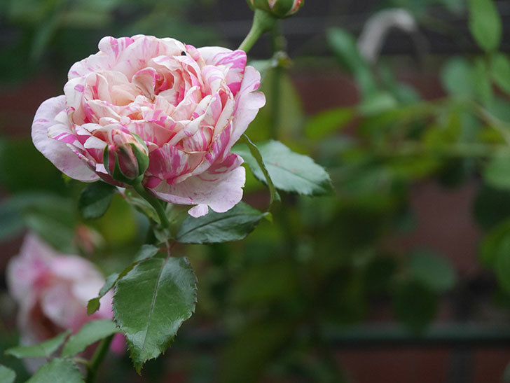 エドゥアール・マネ(Edouard Manet)の2番花がまた咲いた。半ツルバラ。2020年-005.jpg