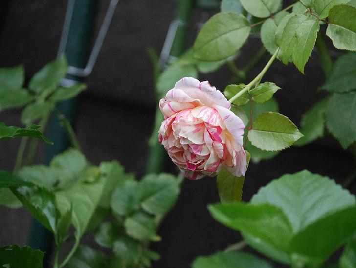 エドゥアール・マネ(Edouard Manet)の2番花がまた咲いた。半ツルバラ。2020年-006.jpg