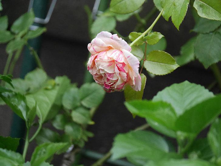 エドゥアール・マネ(Edouard Manet)の2番花がまた咲いた。半ツルバラ。2020年-007.jpg