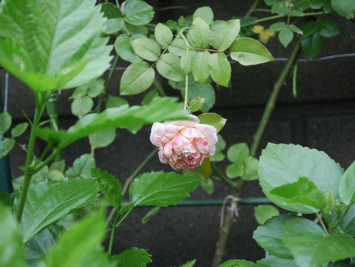 エドゥアール・マネ(Edouard Manet)の2番花がまた咲いた。半ツルバラ。2020年-008.jpg