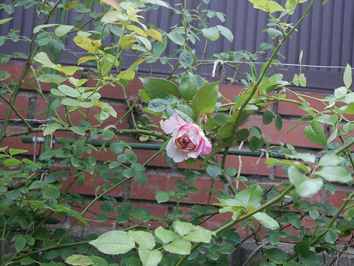 エドゥアール・マネ(Edouard Manet)の2番花がまた咲いた。半ツルバラ。2020年-009.jpg