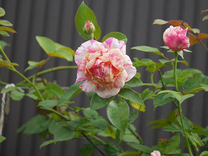 エドゥアール・マネ(Edouard Manet)の2番花が咲いた。半ツルバラ。2020年-001.jpg