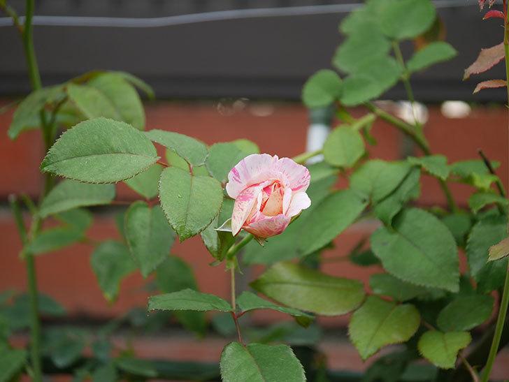 エドゥアール・マネ(Edouard Manet)の2番花が咲いた。半ツルバラ。2020年-004.jpg