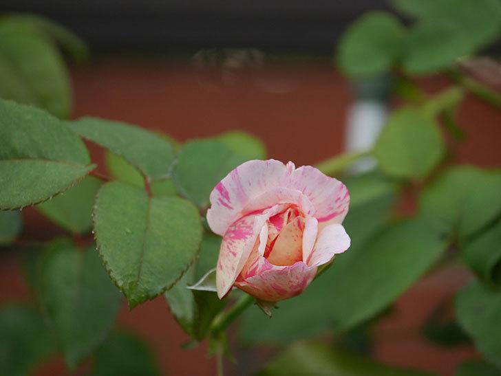 エドゥアール・マネ(Edouard Manet)の2番花が咲いた。半ツルバラ。2020年-005.jpg