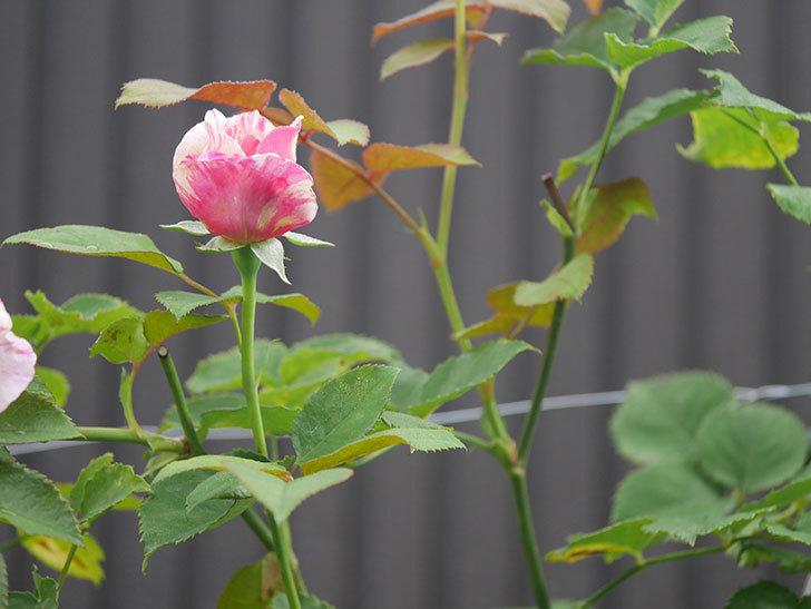 エドゥアール・マネ(Edouard Manet)の2番花が咲いた。半ツルバラ。2020年-007.jpg