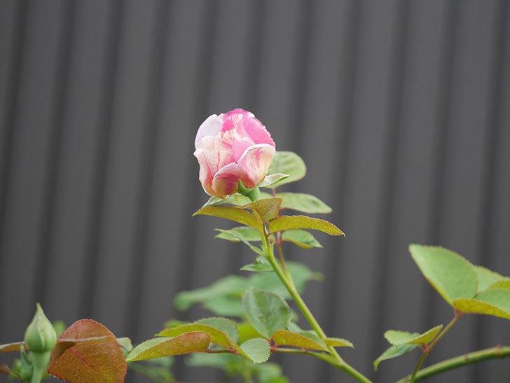 エドゥアール・マネ(Edouard Manet)の2番花が咲いた。半ツルバラ。2020年-008.jpg