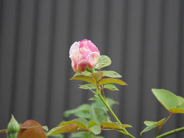エドゥアール・マネ(Edouard Manet)の2番花が咲いた。半ツルバラ。2020年-009.jpg