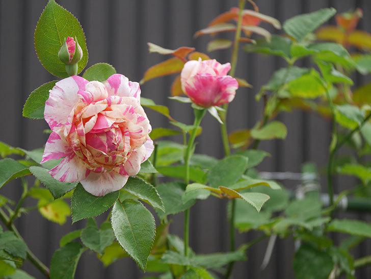 エドゥアール・マネ(Edouard Manet)の2番花が咲いた。半ツルバラ。2020年-010.jpg