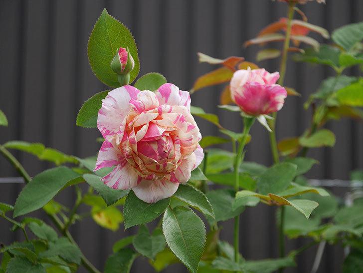 エドゥアール・マネ(Edouard Manet)の2番花が咲いた。半ツルバラ。2020年-011.jpg