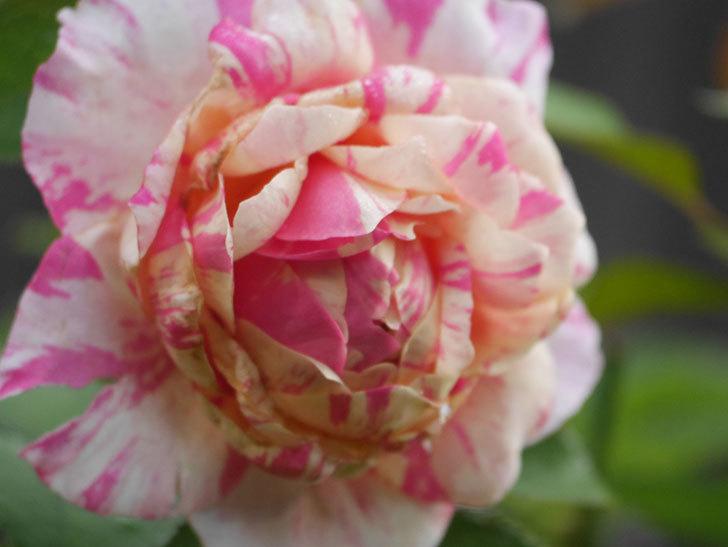 エドゥアール・マネ(Edouard Manet)の2番花が咲いた。半ツルバラ。2020年-012.jpg